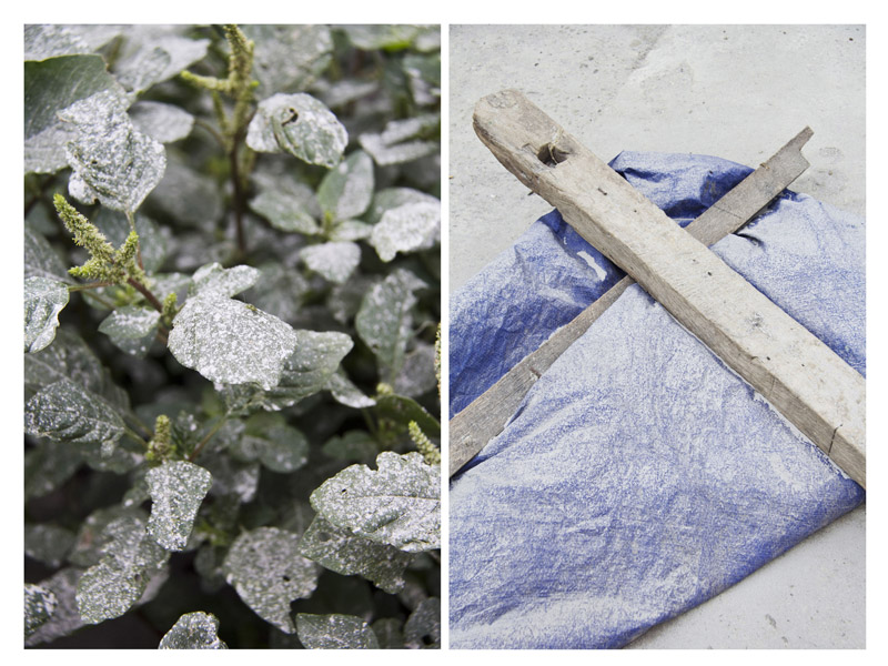 (left) Ashes from Mount Sinabung cover the plants in Tanah Karo, Indonesia. (right) Coffee drying process, that only rely to sun radiation, takes more time when the Mount Sinabung erupt its ashes. The farmers should delay the outdoor drying process.