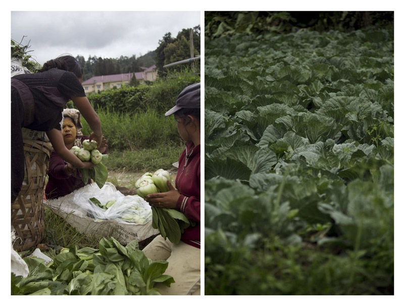 (left) Local harvest the vegetables as sales crops.(right) Horticultural plants in Tanah Karo, Indonesia.