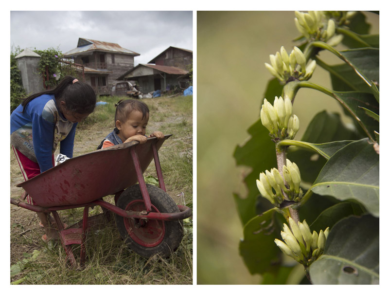 (left) Children play in the farm.(right) Coffee flower