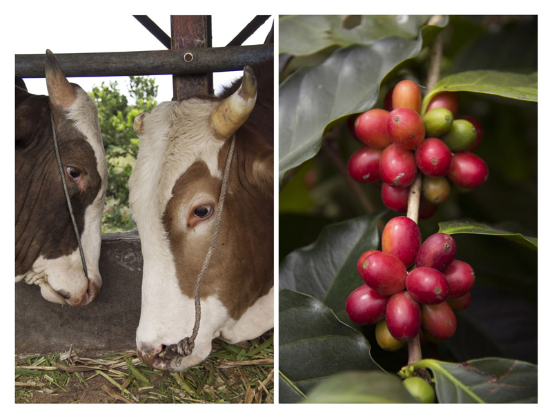 (left) Livestock farm as another source of income for local. In organic plantation, the dung is used as fertilizer.(right) Coffee cherry