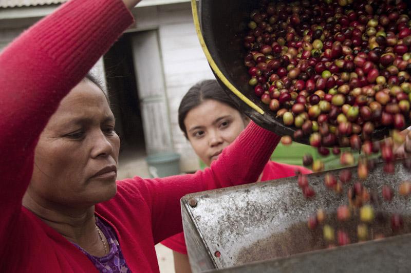 Peeling the coffee cherry.