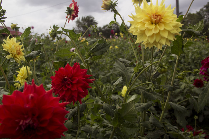 Flowers farm in Tanah Karo. The owner will sell the flowers to the several cities to get additional cash income.